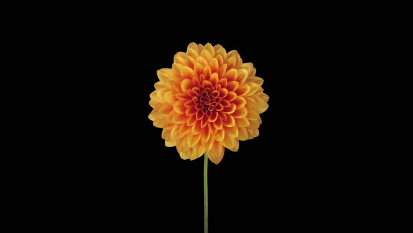Time-lapse of growing and opening orange dahlia (georgine) flower 8x3 in RGB + ALPHA matte format isolated on black background