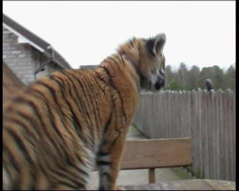 funny baby tiger