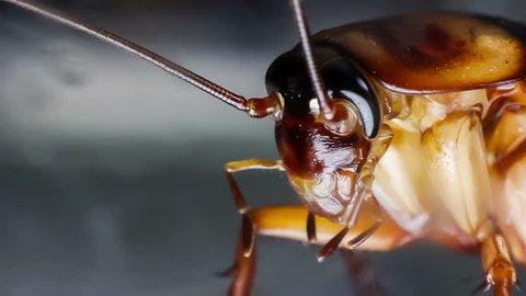 Macro shot of Brown cockroach