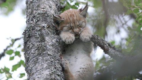 Lynx cub sleep on tree branch
