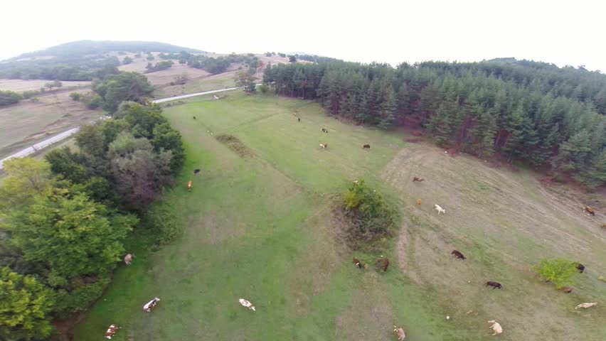 Aerial drone footage over the field with many cows and sheep  | Shutterstock HD Video #11668661