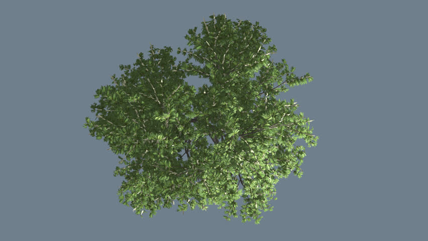 red maple tree crown top down with green leaves on chroma key  tree on alfa channel  tree on