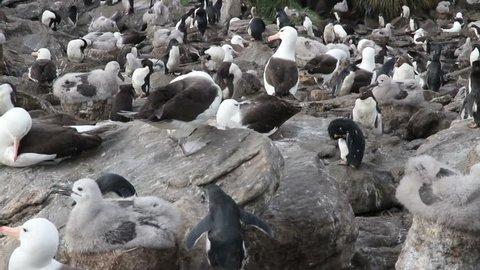 Black browed Albatross and rockhopper penguins   Black browed Albatross colony and rockhopper penguins