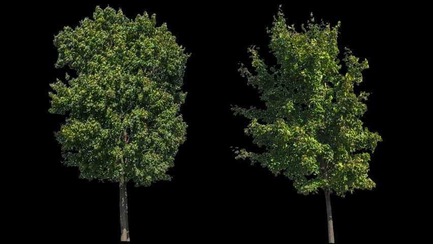 High quality 10bit footage of trees on the different wind with Alpha Channel. Made from RAW footage. | Shutterstock HD Video #11826476
