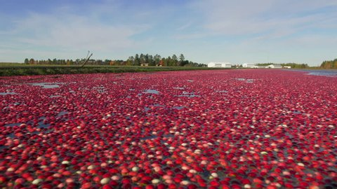 WS Cranberries floating on water surface in cranberry bog - NOVEMBER 01, 2013