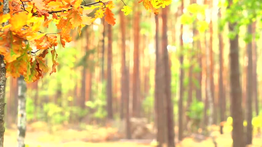 Autumn Fall Bright Colorful Autumn Leaves Royalty Free Video
