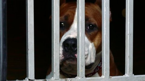 Staffordshire terrier sad in animal shelter behind chain fence