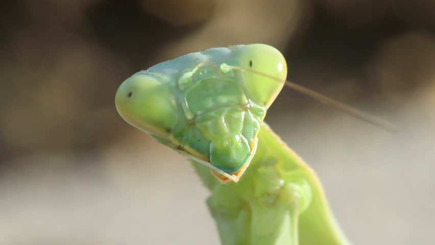Extreme close-up of an Arizona mantis, focusing on its head