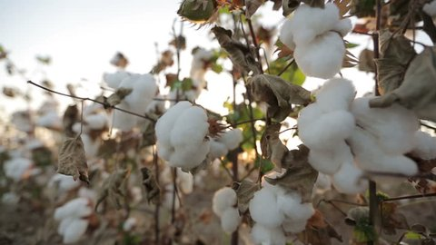 Dolly shot of ripe cotton top grade before harvesting