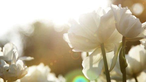 Big snow-white tulips against the sundown, close up