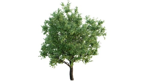 Growing tree on white (with alpha matte, full hd)