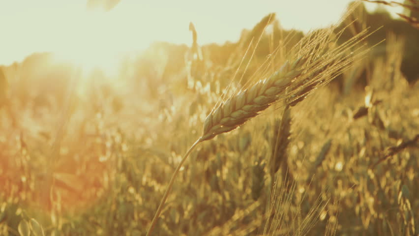 Cereal field, shot at a peaceful countryside during summer holidays in Poland. Golden hour, just before sunset. Cereals are oat, wheat and barley. Shot in RAW and color graded.