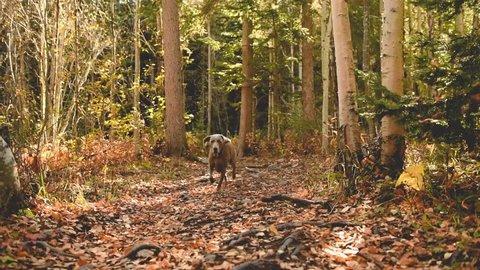 Weimaraner dog running excitedly during autumn walk through woods