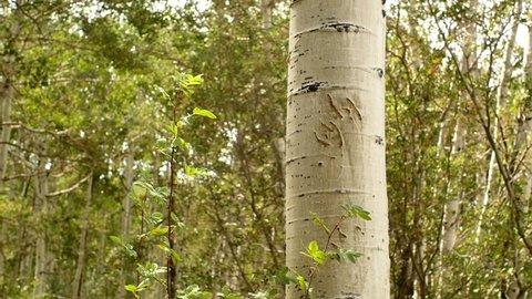 Bear claw marks on an aspen tree