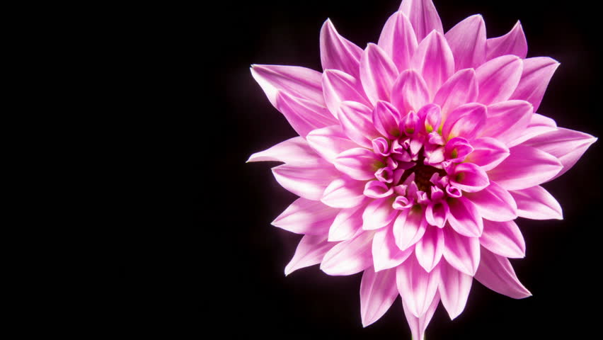 Time lapse - Blooming Pink Dahlia Flower #12199277