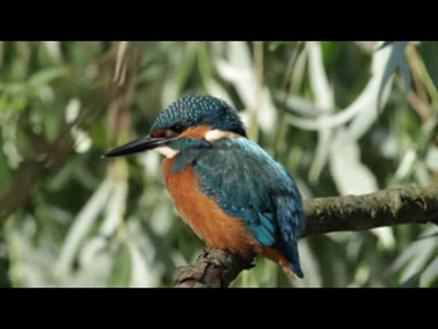 Common Kingfisher (Alcedo atthis) looking for prey in the river. Poland,Bug river in summer.In the riverine thickets kingfisher lies in wait for its prey . Filmed under natural conditions from hides | Shutterstock HD Video #12204359