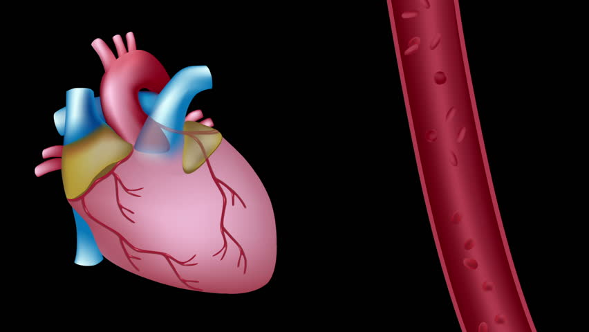 Slow Motion Of Blood Flow In The Heart  Seamless Loop