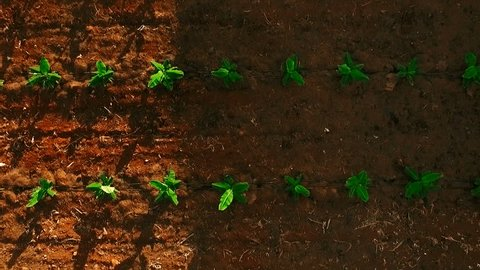 AERIAL: smooth flight above young sprouts of bananas