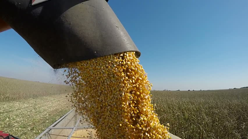 Corn Falling from Combine Auger into Grain Cart. Harvest Time.