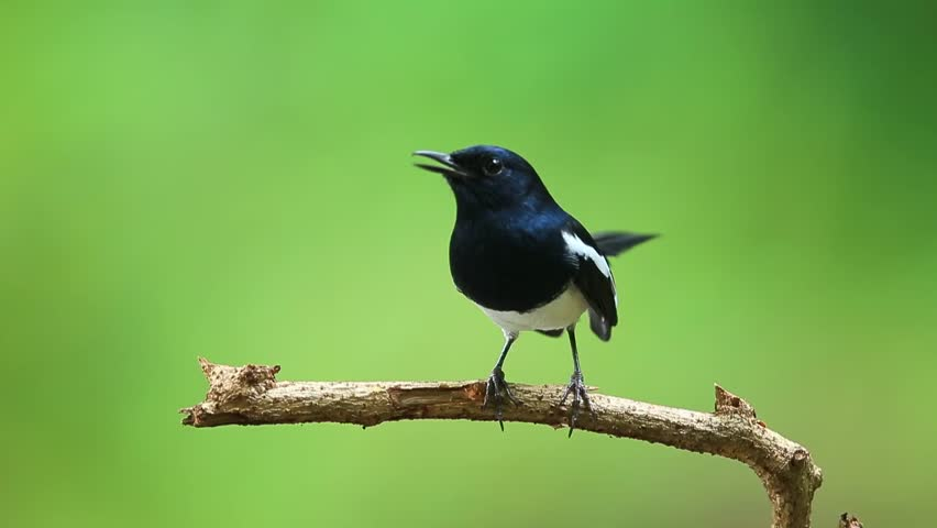 Beautiful Male of Oriental Magpie Robin Bird, The beautiful black and white bird standing on a branch in nature
