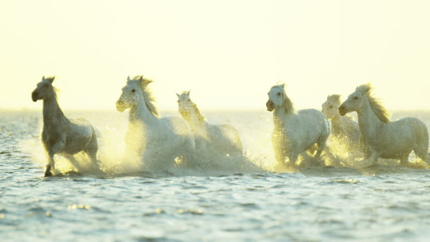 Cowboy Camargue rider animal horse sunset grey livestock nature France guardian Mediterranean sea galloping marshland freedom RED DRAGON | Shutterstock HD Video #12292700