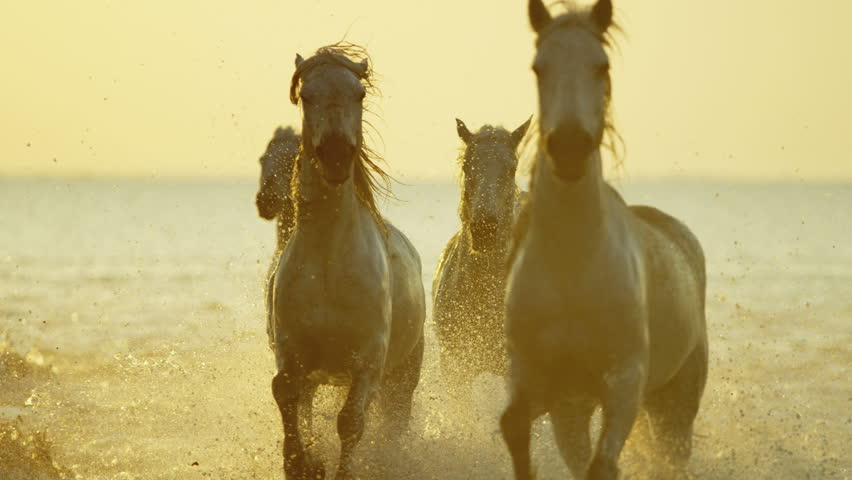 Camargue animal horses France running sunrise wildlife white livestock sea Mediterranean nature outdoors marshland freedom travel RED DRAGON #12292751