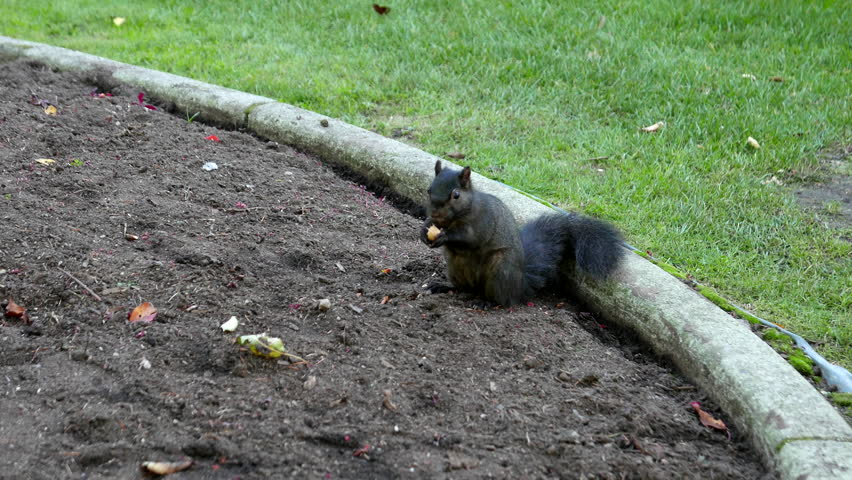 Squirrel eating nuts on the ground with 4k resolution | Shutterstock HD Video #12315731