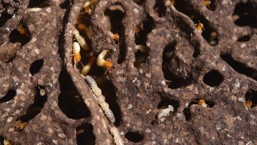 Close up macro white ants or termites on decomposing wood | Shutterstock HD Video #12324644