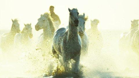 Camargue, France animal horse wild white livestock sunrise rider cowboy running water Mediterranean nature tourism travel RED DRAGON
