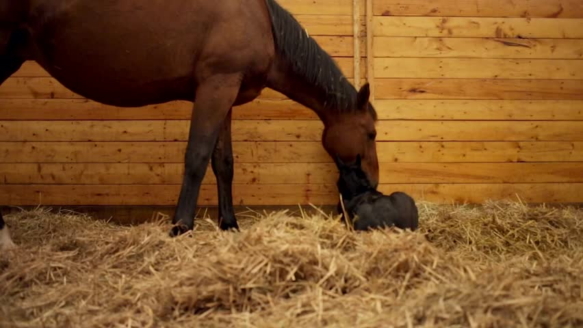 Newly Born Foal with it's Mother Mare Horse