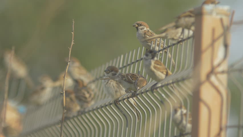 Some sparrows seating on the fence