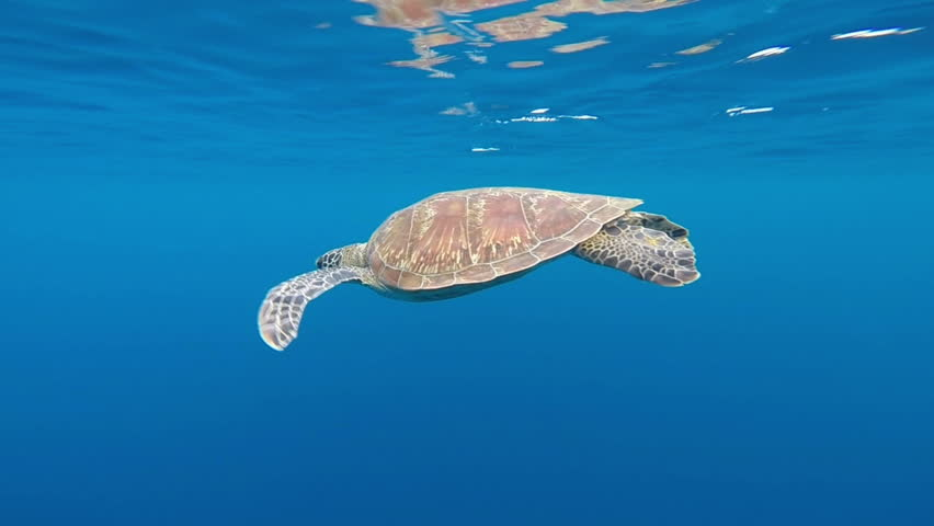 HD footage underwater of Sea Turtle swimming in blue water, Similan island Thailand #12460271