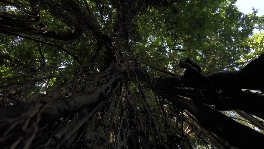 Roots reach out of the canopy in the Balinese jungle. Bali Indonesia - April & Virgin Mangrove Forest In Sri Lanka With Exotic Vegetation On River ...