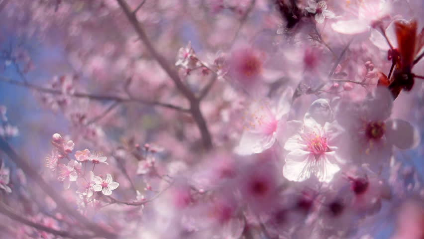 Splendid panoramic view across blooming pink Japanese Sakura branch. Shallow dof. Unusual nature scene of cherry in sunny day. Slow motion hd footage. 1920x1080