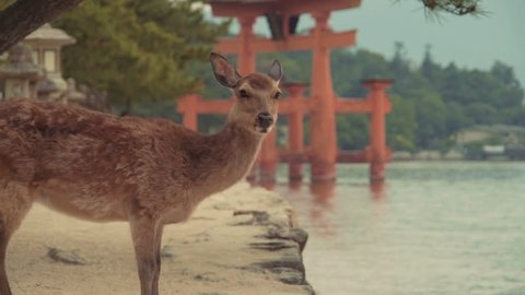 Wild deer on Miyajima Island in front of the famous giant orange gate (torii) of Itsukushima shrine, Hiroshima, Japan.
