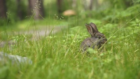 Young rabbit eating grass in the forest. The smooth movement of the camera in the side.