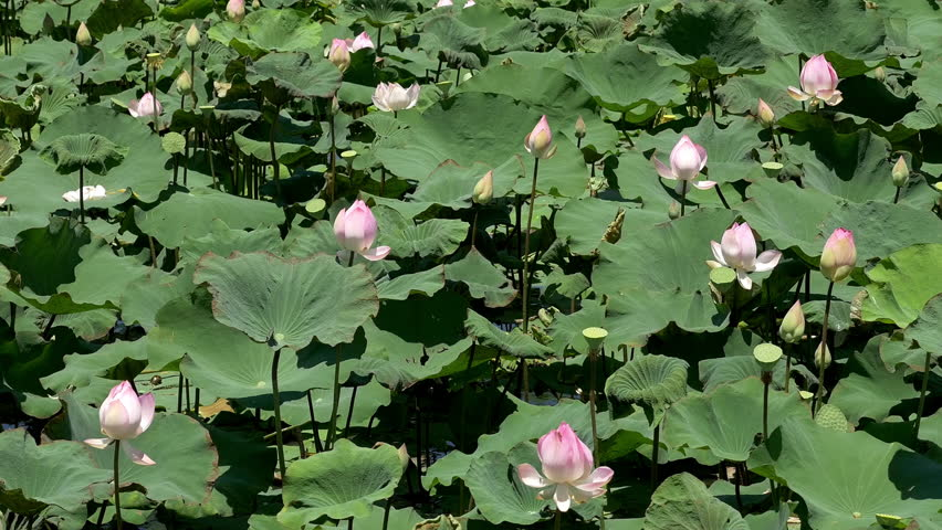 Scenic Lotus Flower Farm In Cambodia Royalty Free Video