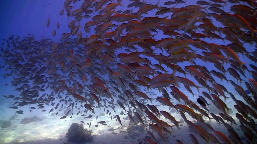 shoal of fish on the coral reef, Red sea