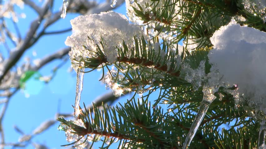 CLOSE UP shot of fir tree branches with icicles and melting snow against blue sky in winter. #12803837