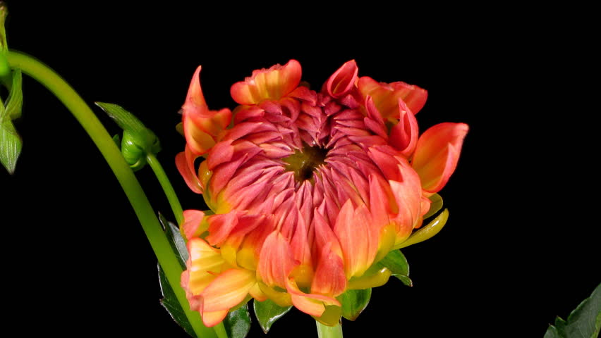 Timelapse of a dahlia(Dahlia sp.) flower blooming.