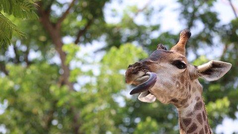 Beautiful Giraffe Close up, Giraffe Camelopardalis, The Tallest Animal, African