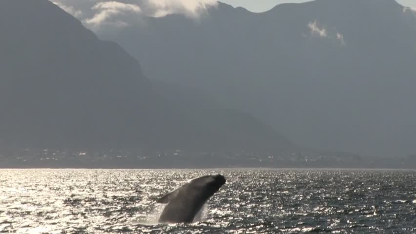 Southern Right Whale Breaching with Mountains in Background