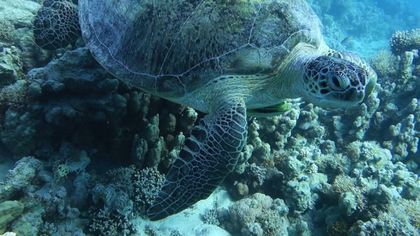 close up of a giant turtle in the sea, red sea #12963101