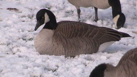 Waterloo, Ontario, Canada November 2015 Canada geese in the snow in Waterloo during winter not migrating