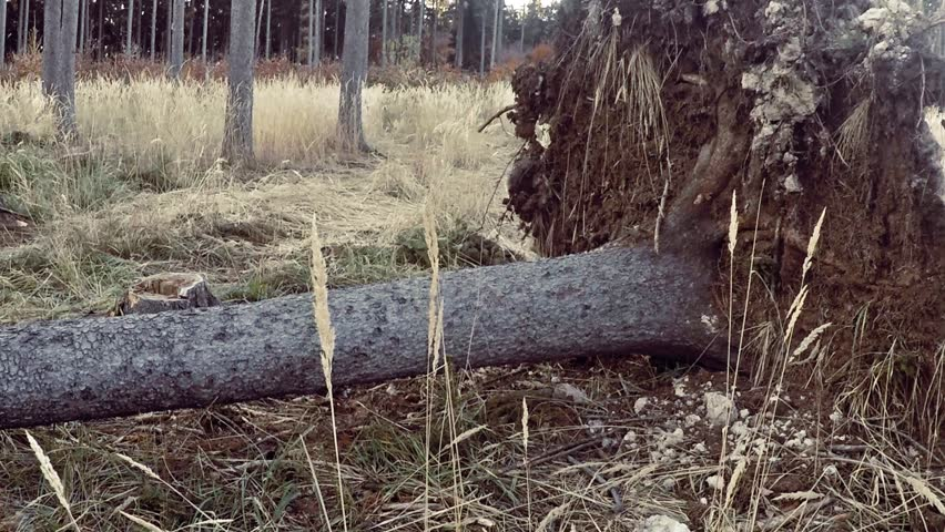 Uprooted large tree on the groung with a rootstock