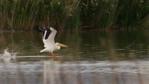White pelican running on water and flapping wings to take flight in wetlands in super  slow motions