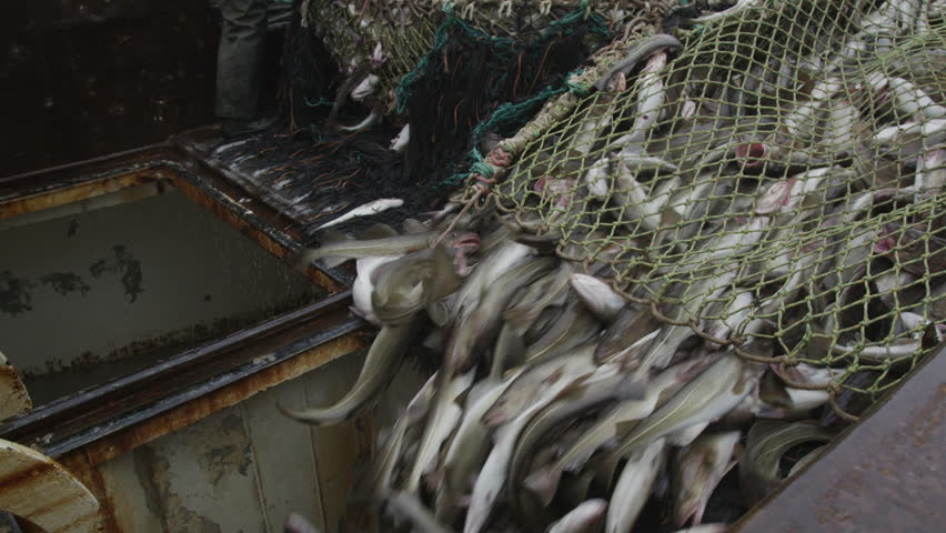 fish in trawl