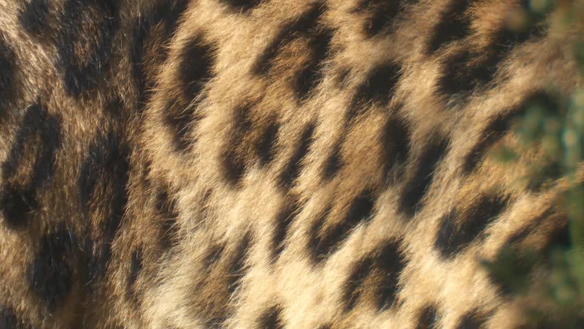 Leopard | Shutterstock HD Video #1310041