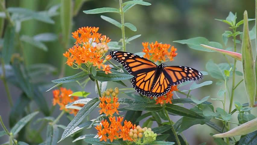 Monarch (Danaus Plexippus)  Butterfly  Sucking Nectar