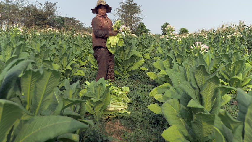 the evident violation of human rights in the tobacco harvesting industry Based on a considerable amount of documents giving evidence of the human rights to and tobacco industry amounted to a violation of.